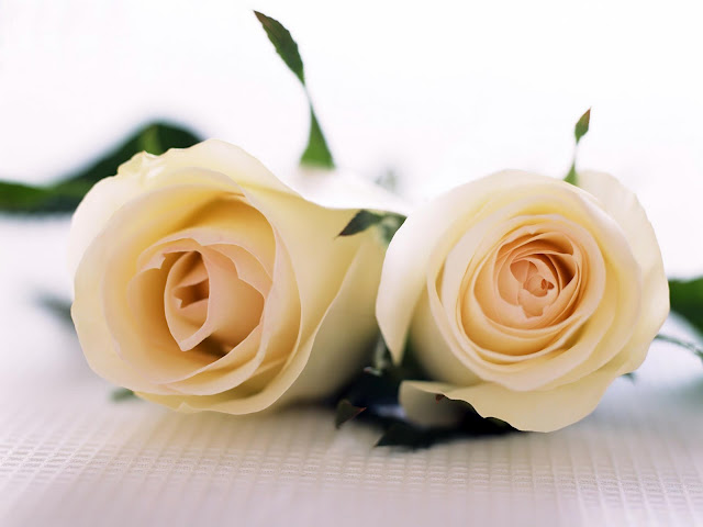 White Roses Flower Graphic for Zorpia