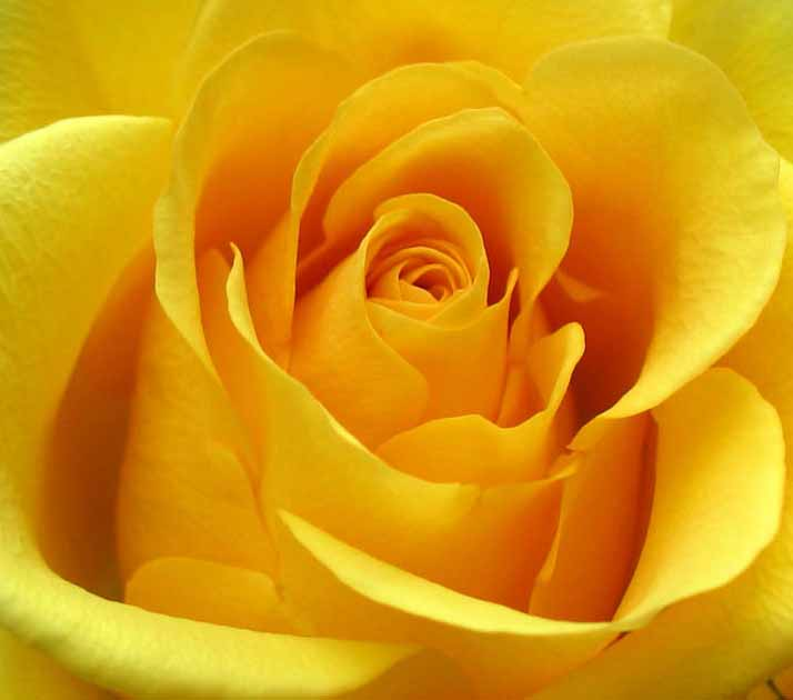 Yellow Rose Image for Friendster