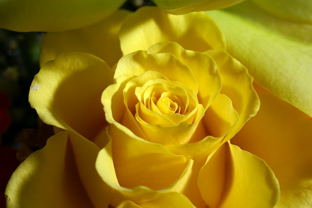 Yellow Rose Photo for Fb Share