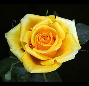 Yellow Rose Photo for Myspace