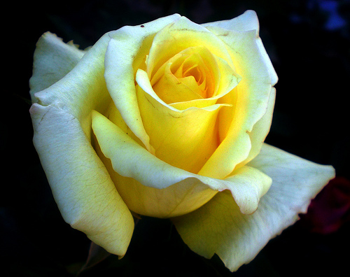 Yellow Rose Picture