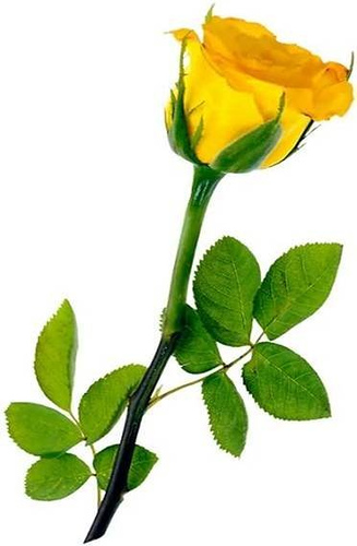 Yellow Rose with Leaves Picture