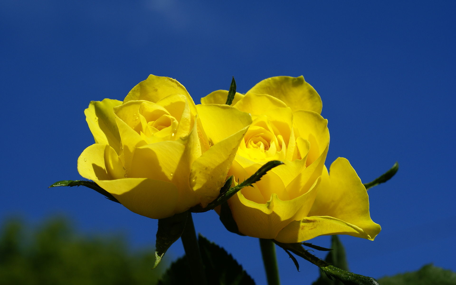 Yellow Roses Flower Picture for Fb Share