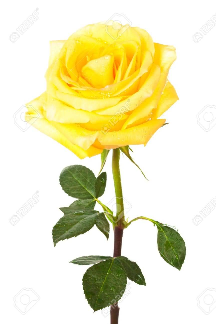 yellow rose pictures, images, graphics, comments, scraps (25