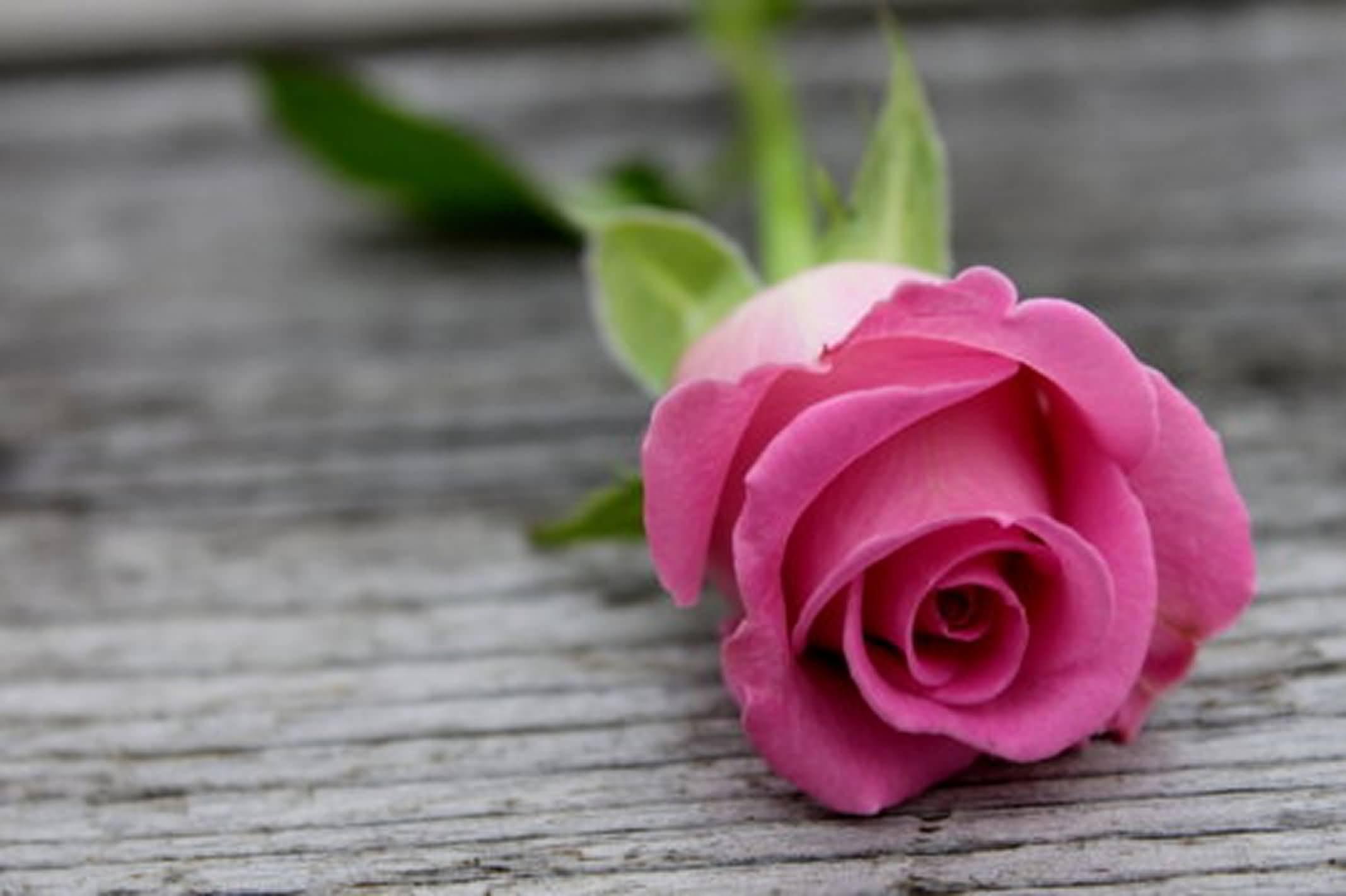 Beautiful pink rose wallpaper pink rose graphics99 beautiful pink rose wallpaper pink rose izmirmasajfo