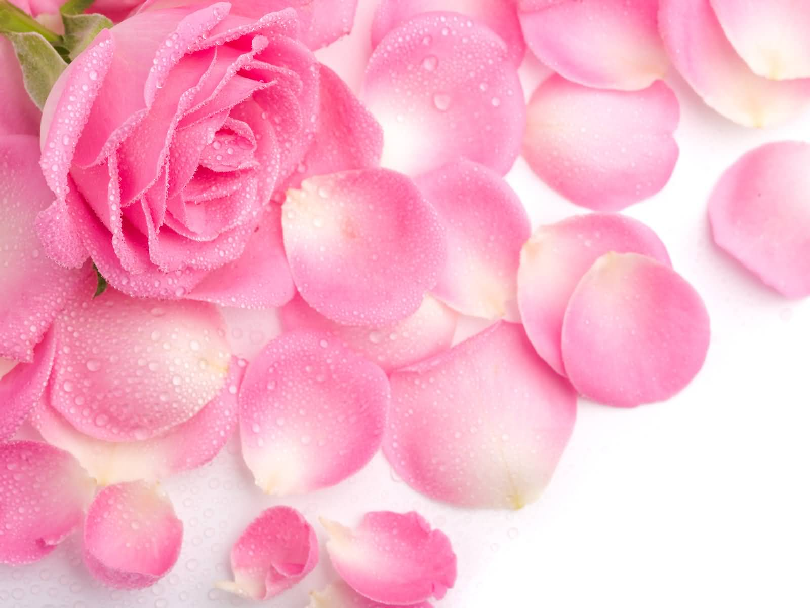 Pink rose pictures images graphics comments scraps 46 pictures fantastic pink rose wallpaper mightylinksfo